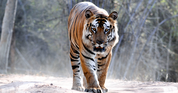 An encounter with the mighty Bamera, star of Bandhavgarh