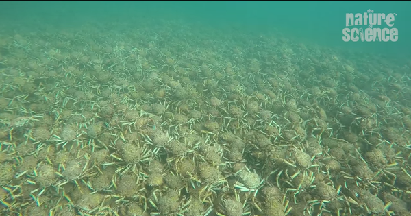 Can you imagine giant spider crabs huddled together shedding their shells? Watch