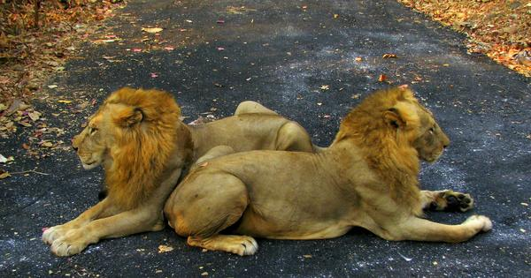 Gujarat: Two more lions found dead in Gir, toll rises to 23