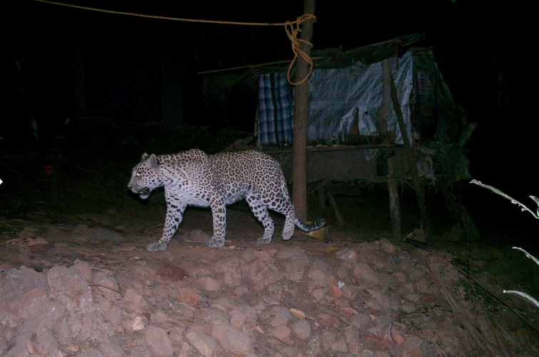 Camera trap footage has helped researchers and officials track and study the presence of leopards in Aarey. Photo credit: Thane Forest Department