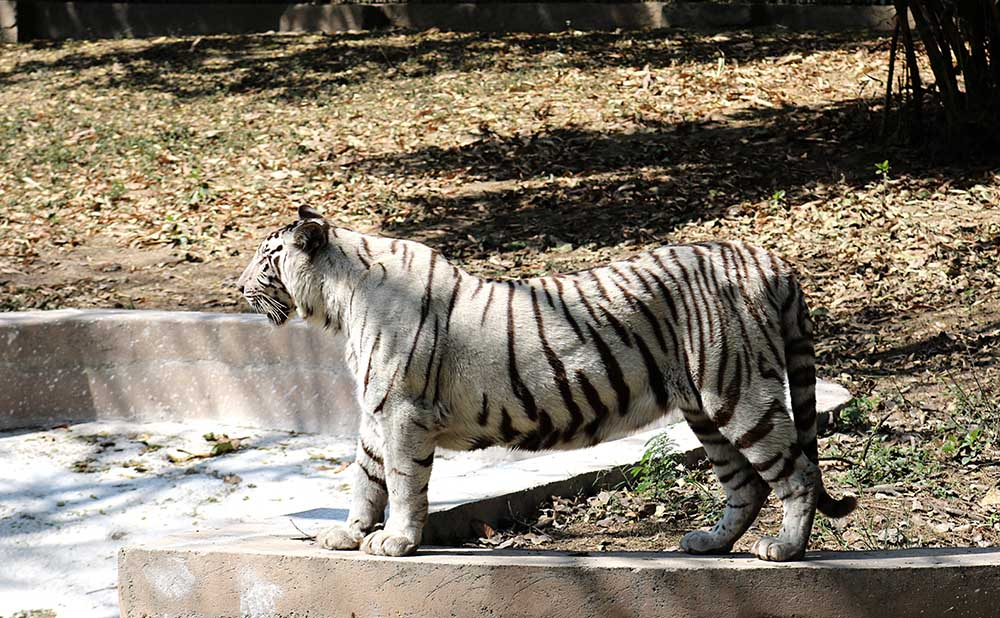 A white tiger at the Delhi Zoo. Photo credit: Anisha Russell.