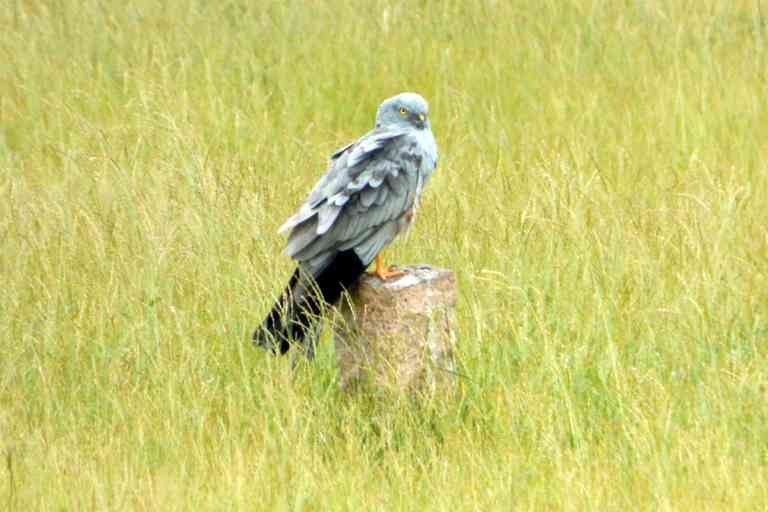 Montagu's harrier perched on a plot marked for housing development. The destruction of grasslands, the natural habitat of harriers, have hit the population of harriers in India. Photo credit: M.B. Prashanth