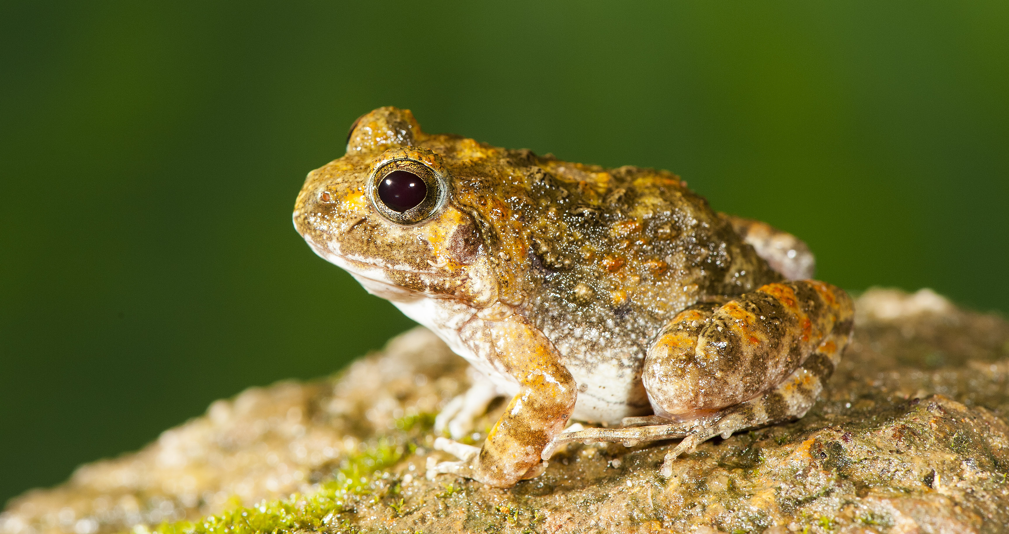 Four new species of burrowing frog, from Western Ghats India