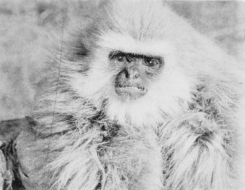"""The Head of a Gibbon Killed on the Nam-Ting River"", featured in Camps and Trails in China (1918)."