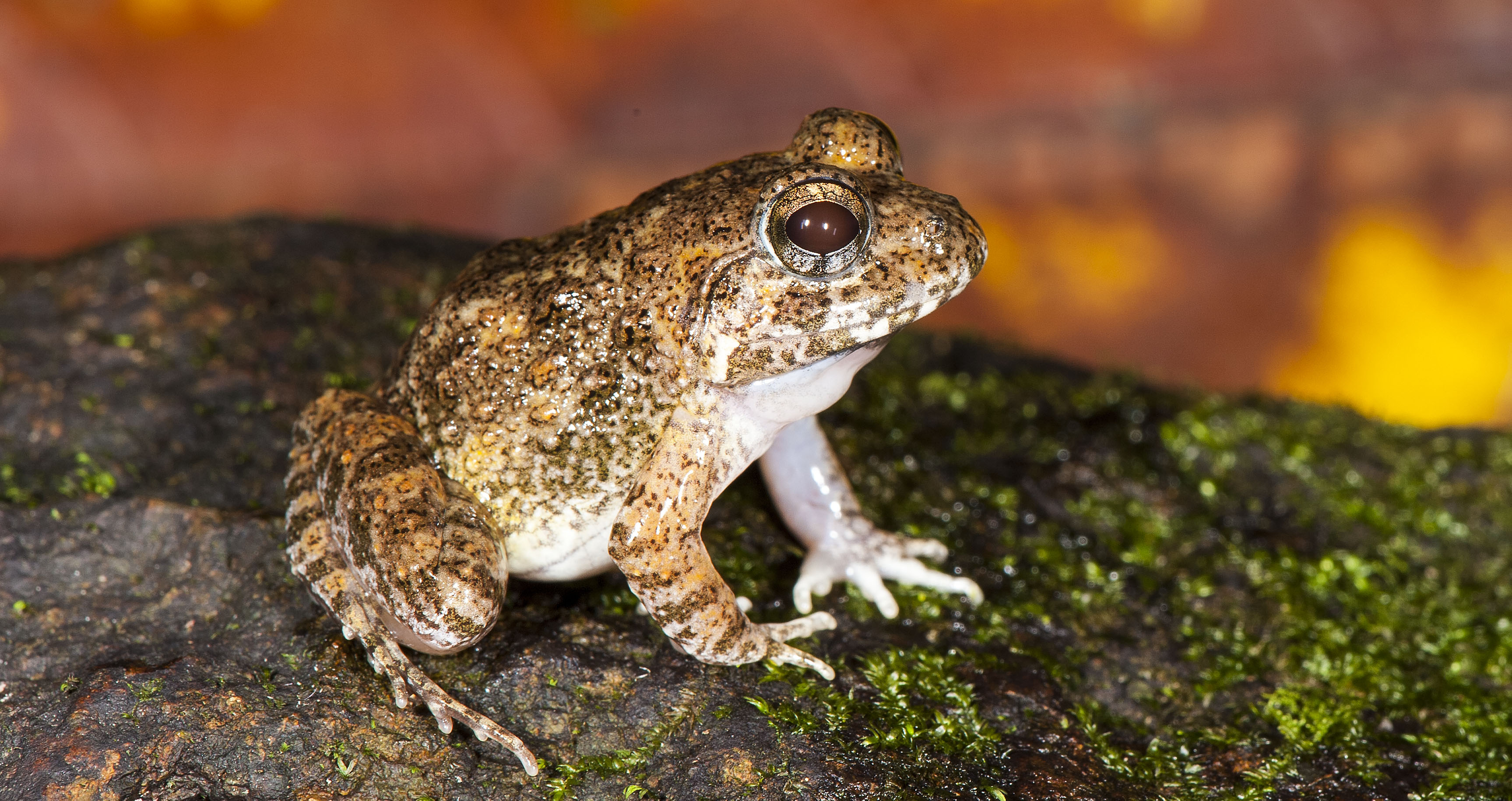 Kadar Burrowing frog. (Photo credit: SD Biju).