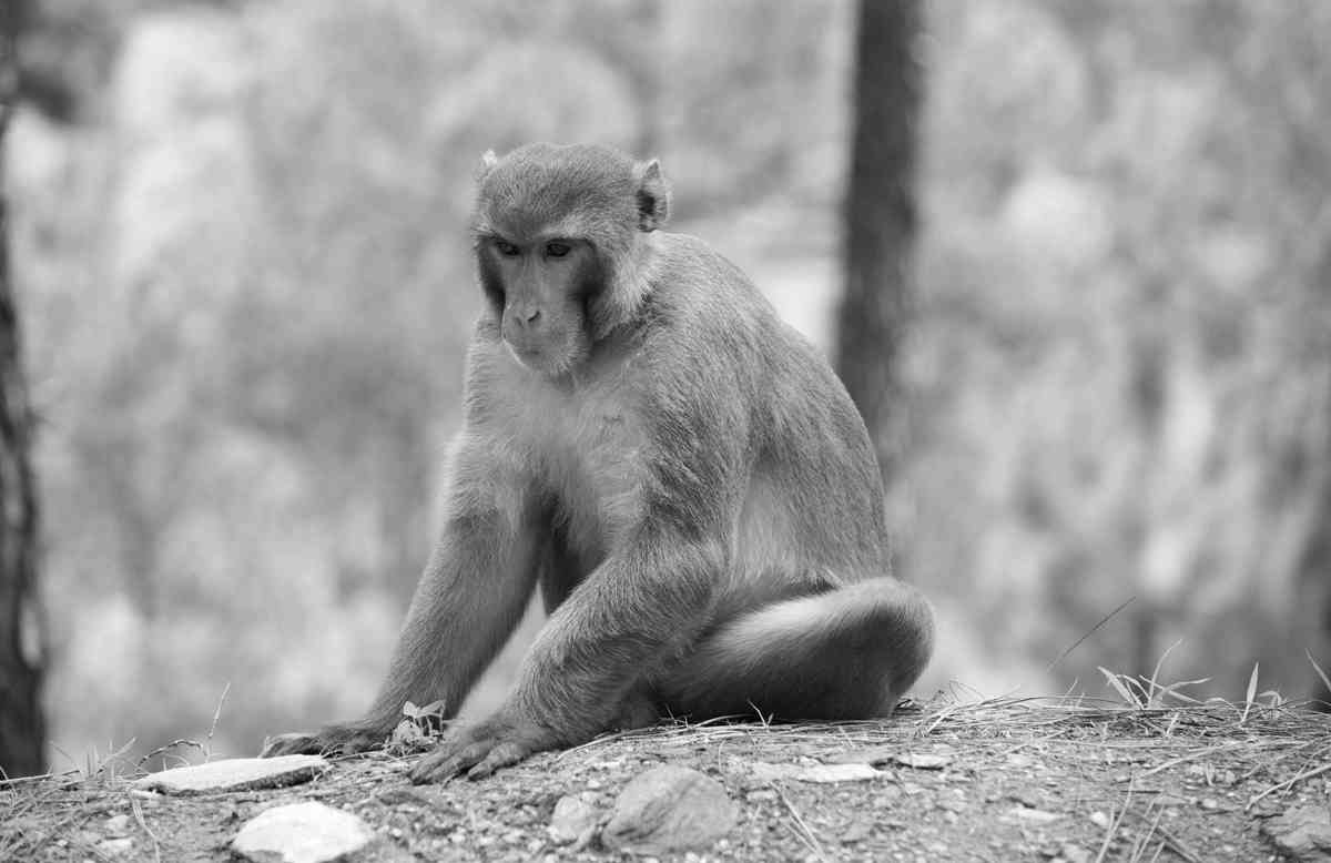 The intrusions of pahari forest macaques were met with greater tolerance.