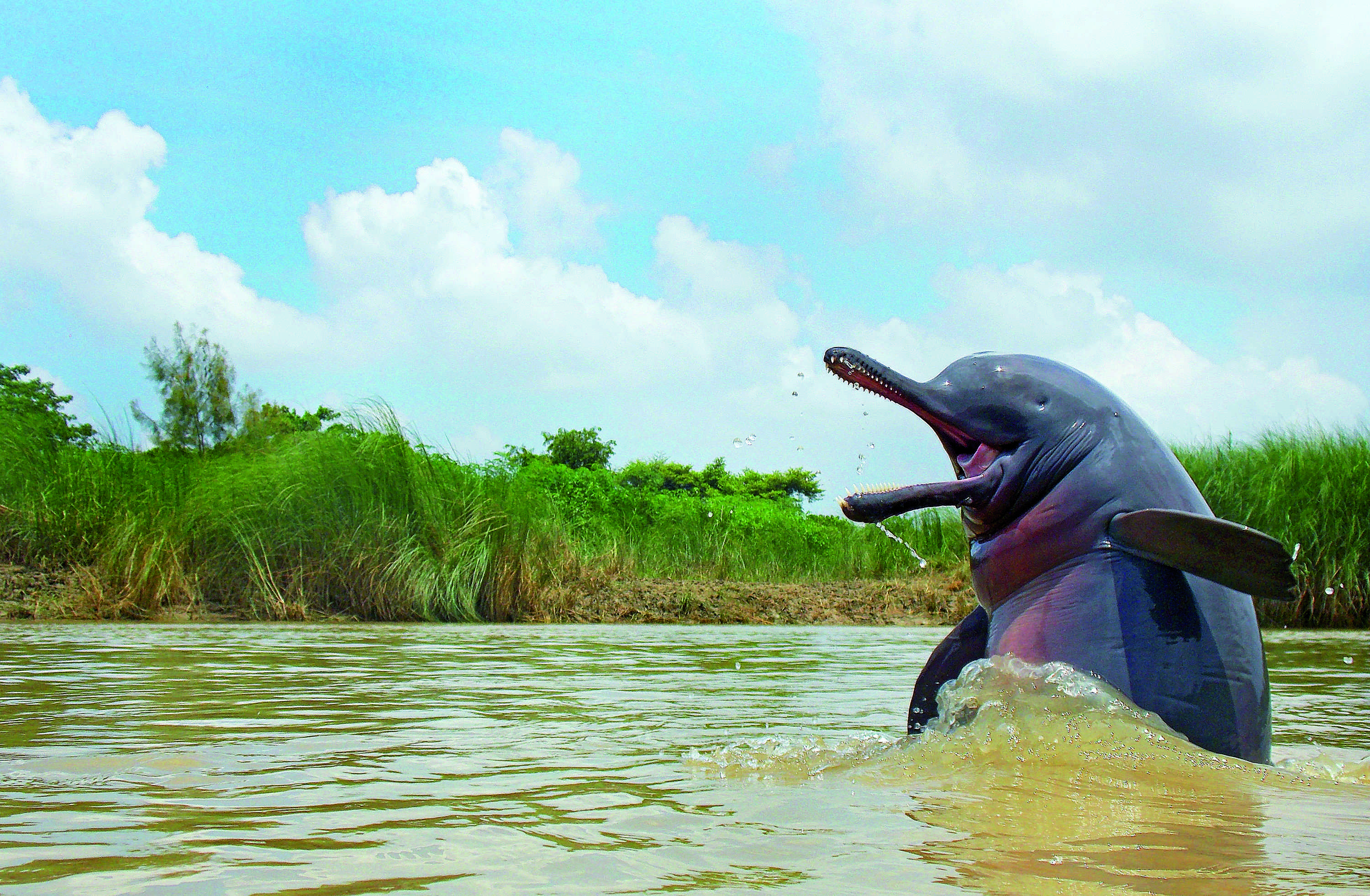 """In 'All Smiles' by Ganesh Chowdhury, the elusive Ganges river dolphin, India's national aquatic animal, makes a rare appearance. """"With both images and information being sparse, Ganesh Chowdhury's superlative portrait of a dolphin in West Bengal's Hooghly river took the judges' breath away,"""" said the note. """"This glorious picture that shows off the Ganges river dolphin's most distinct features – its thin snout, large flippers and pinhole eyes – draws attention to the decline of this endangered, misunderstood species."""" The species is classified as endangered by the IUCN, with pollution, habitat fragmentation and fishing threatening their numbers."""