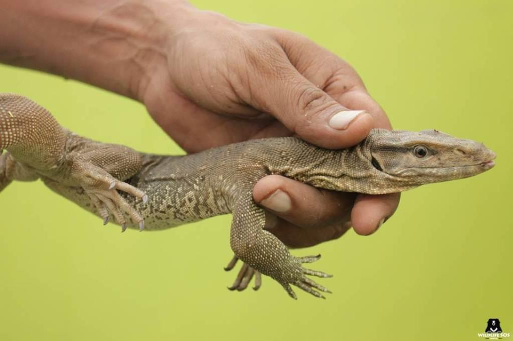 Lizard genitals sold as hatha jodi: Wildlife officials crack