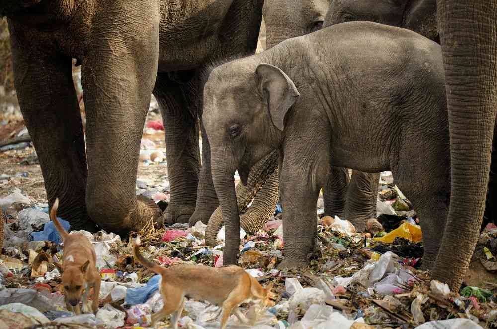 Alive but not quite well, an elephant calf forages in a garbage dump along with its herd in Tissa, Sri Lanka. Poor waste management poses a threat to wildlife, and in India too, conservationists frequently encounter elephant dung studded with plastic strands. Photo credit: Sreedhar Vijayakrishnan