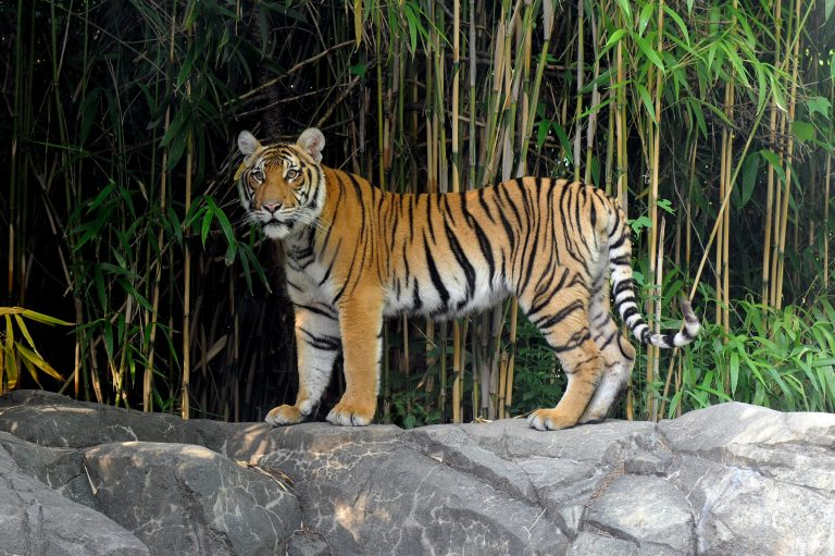 Malayan tiger in the summer. Photo credit: Julie Larsen Maher