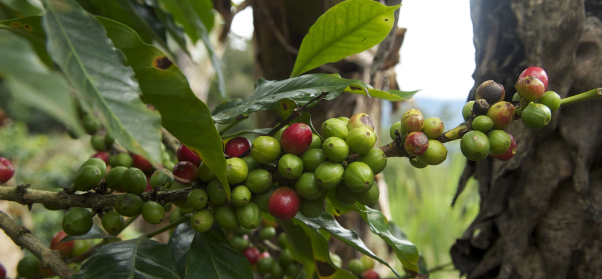 The coffee Tunki of Puno is highly valued on the international market. Photo credit: WCS Peru