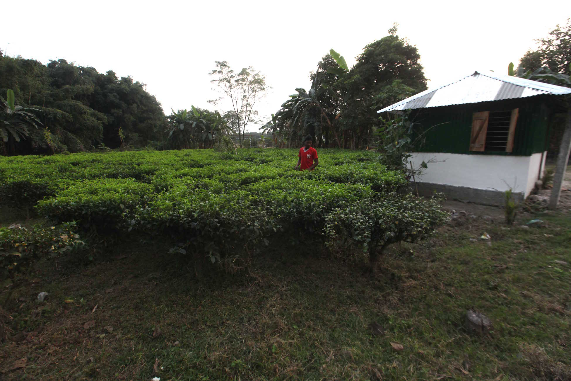 A small tea garden in North Bengal.