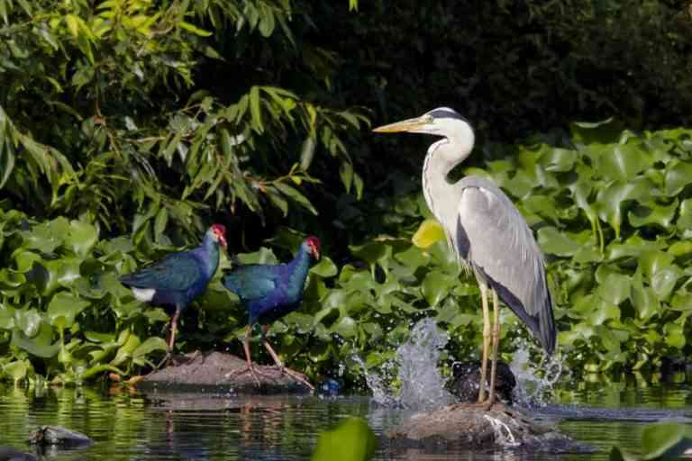 Many resident and migratory birds are found at the bird sanctuary that lies in the midst of a busy part of Pune city. Photo courtesy Dr. Salim Ali Bird Sanctuary Pune.