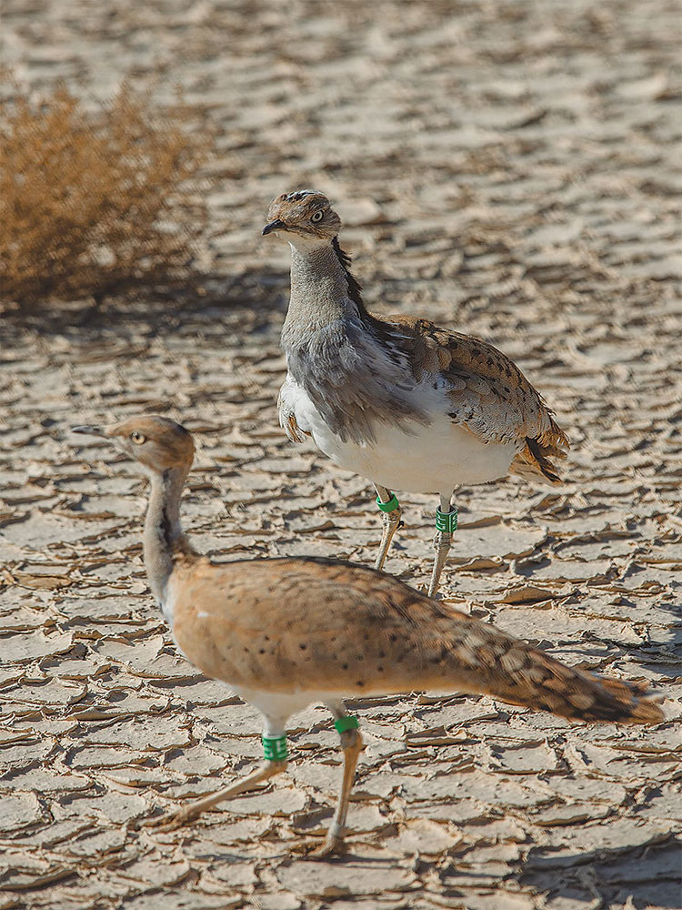 Green tags are used to identify houbara bustards bred in captivity. Photo credit: Mohammad Ali, White Star