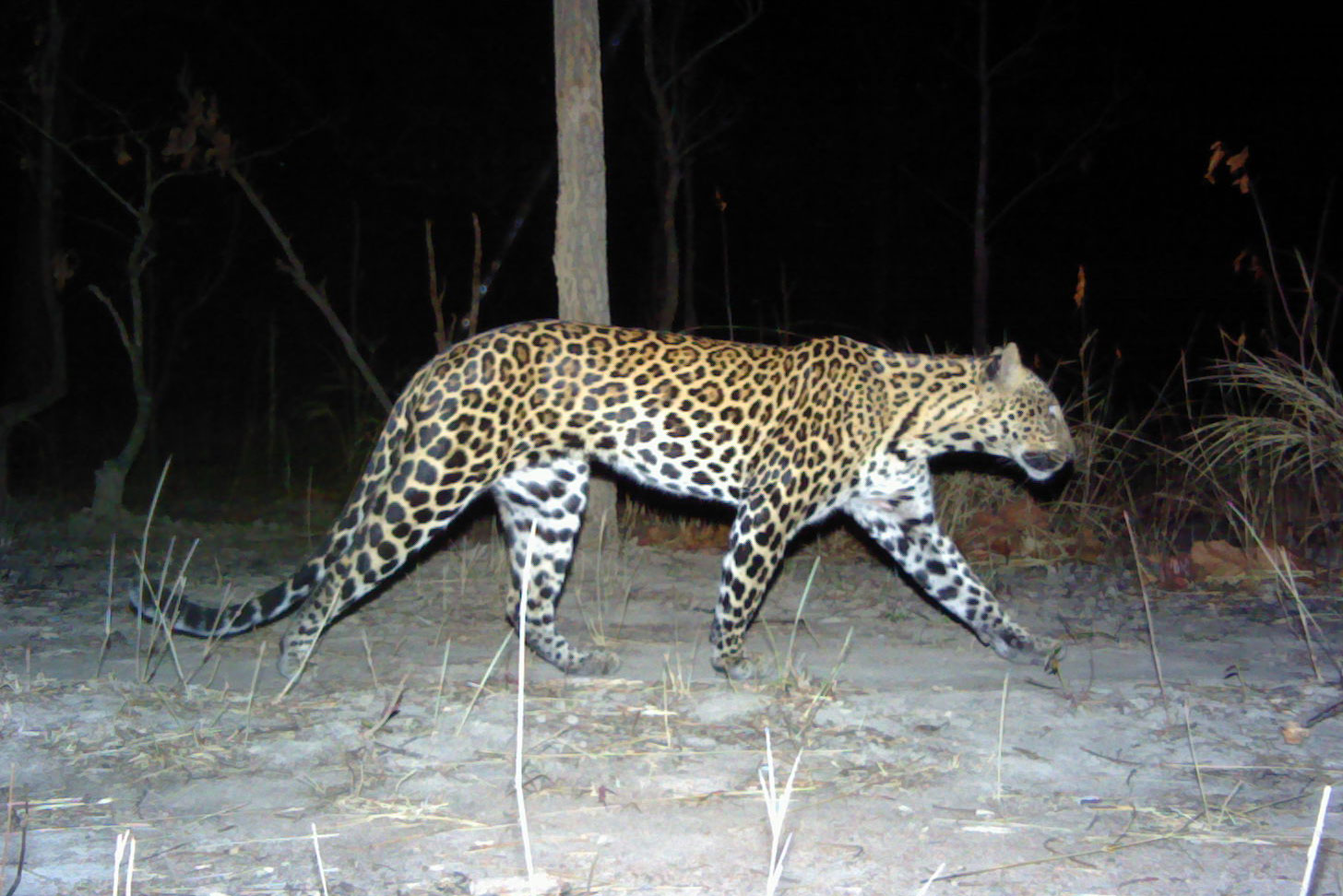 Indochinese leopard has disappeared from 94% of its historical range