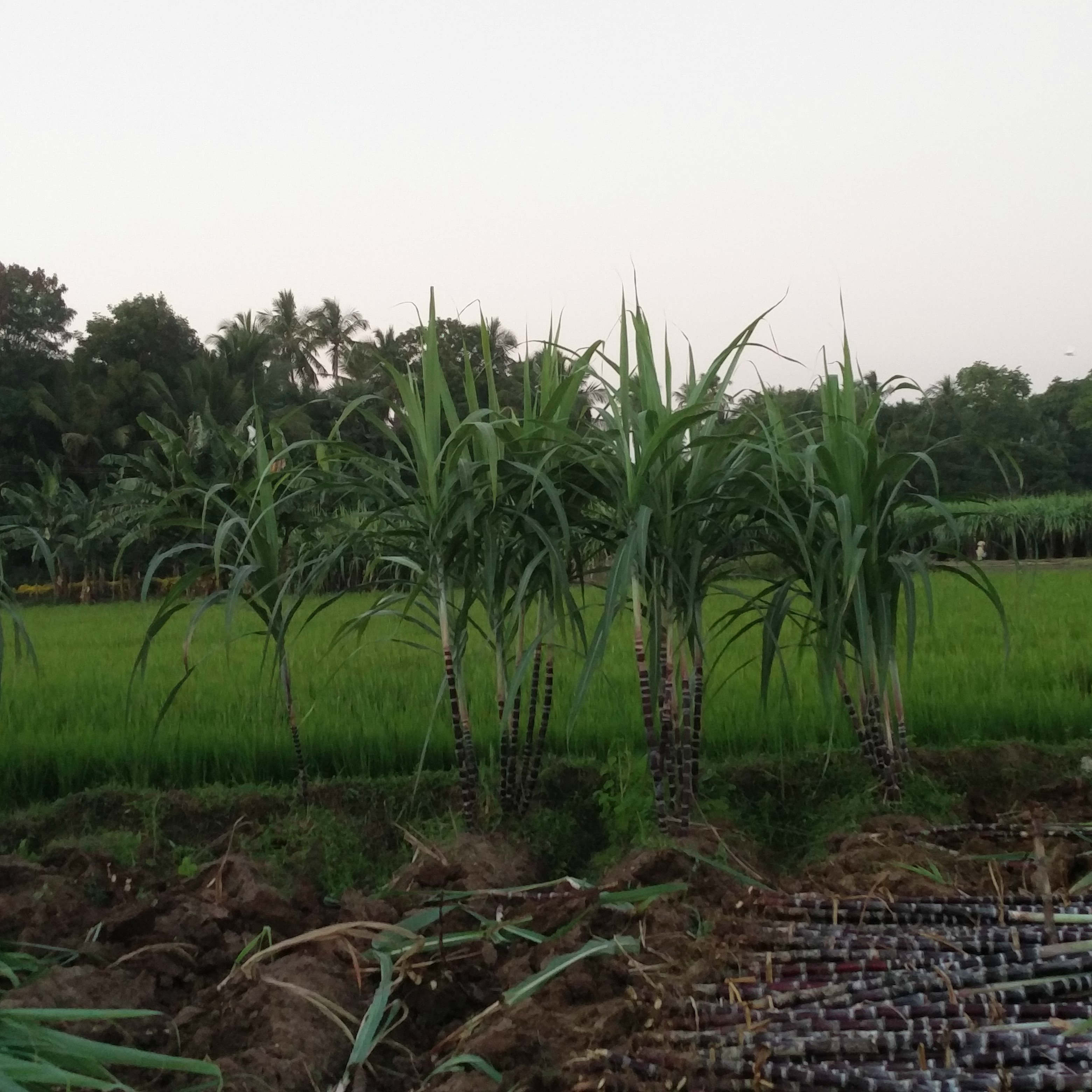 The sugarcane crop, grown mostly for Pongal, has suffered because of the shortage of water.