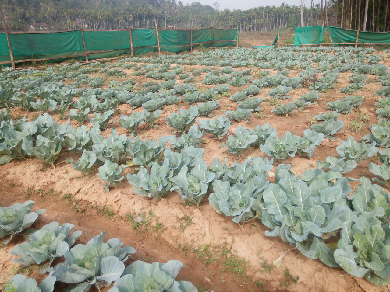 The carbon neutrality project has made Meenangadi vegetable self-sufficient.