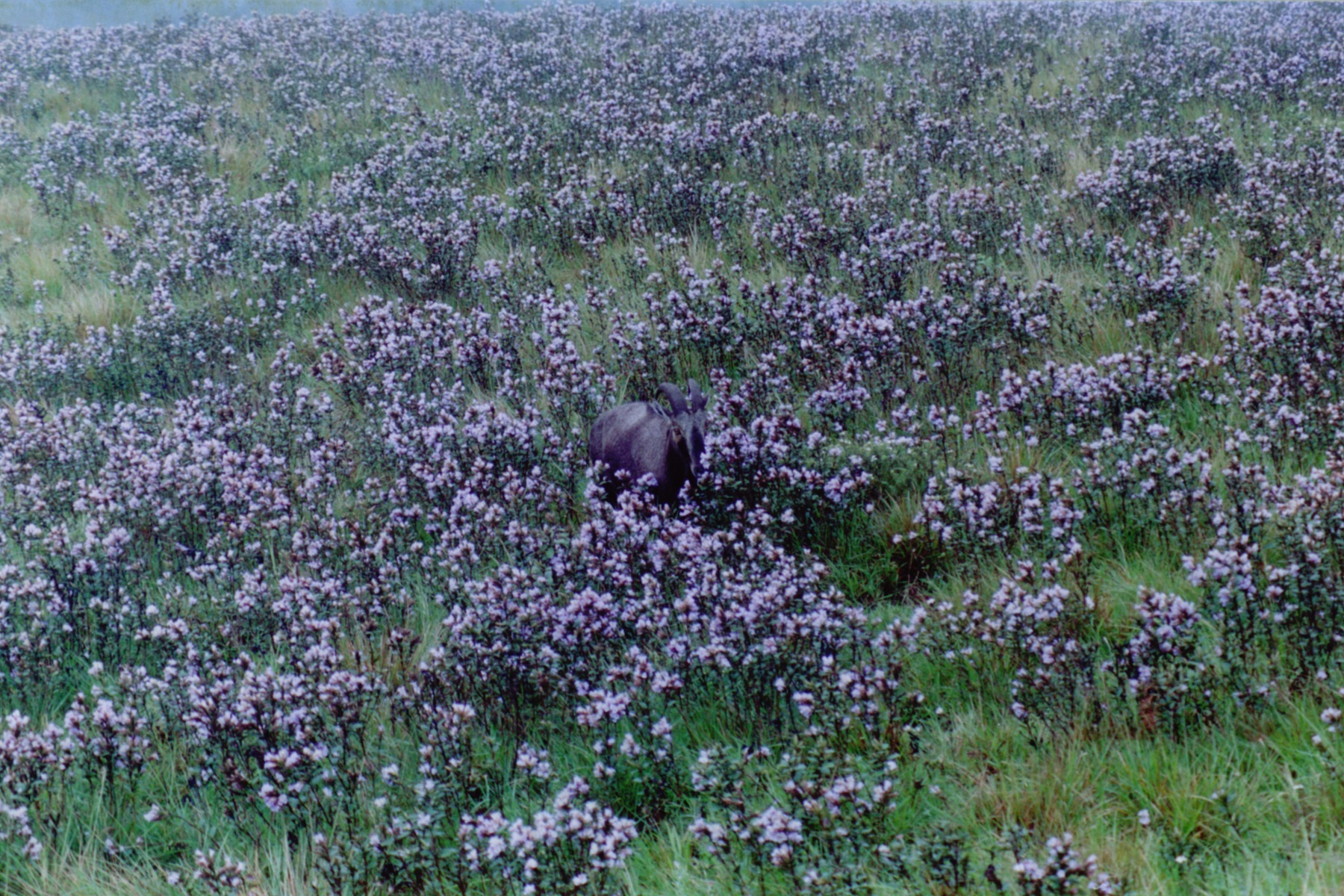 A Nilgiri tahr grazes amidst kurinji shrubs. Photo Credit: Prasad Ambattu