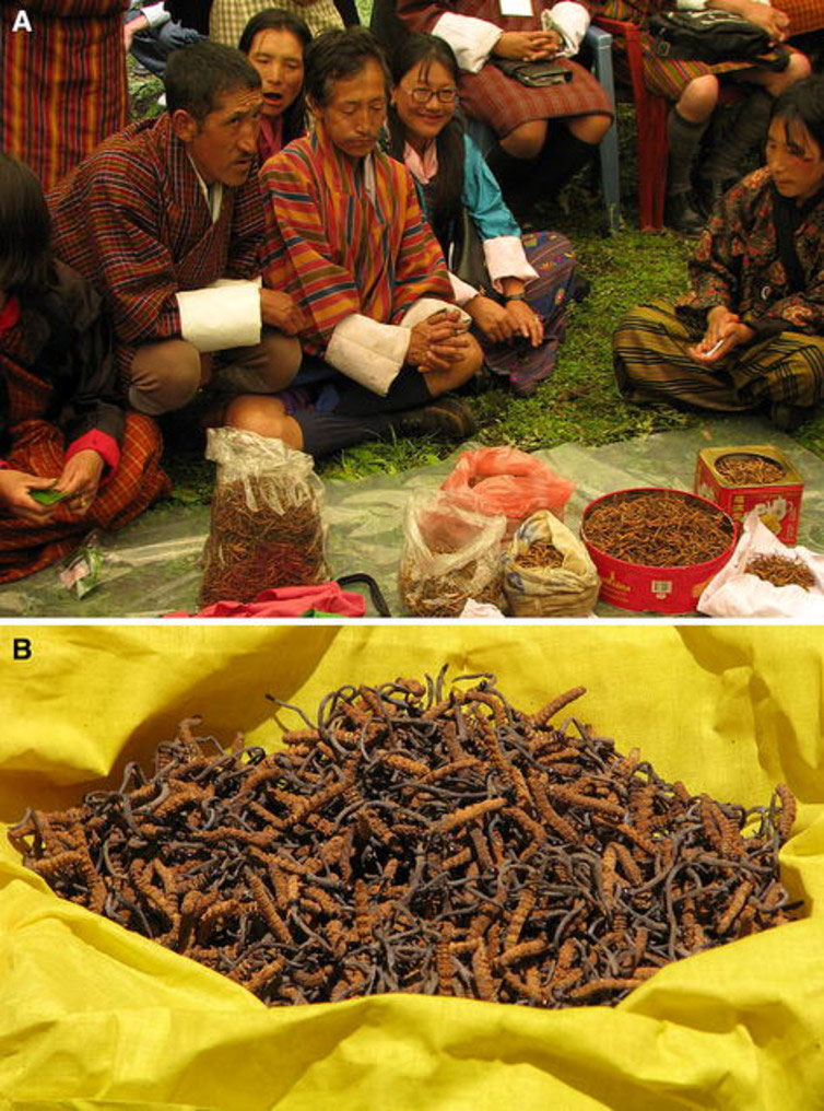 A market selling 'Himalayan Viagra' in Bhutan, and a close up of this complex chimera.