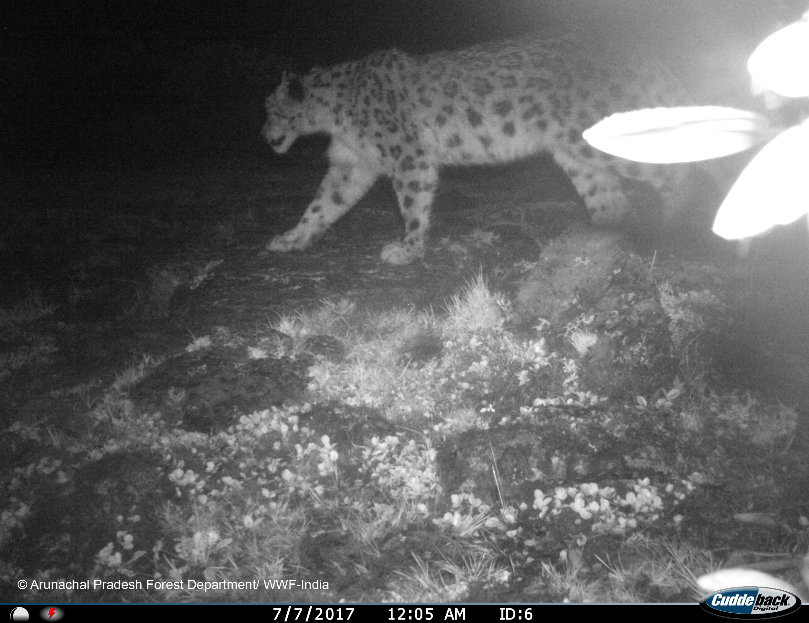 Camera trap image of a snow leopard. (Photo credit: WWF India)