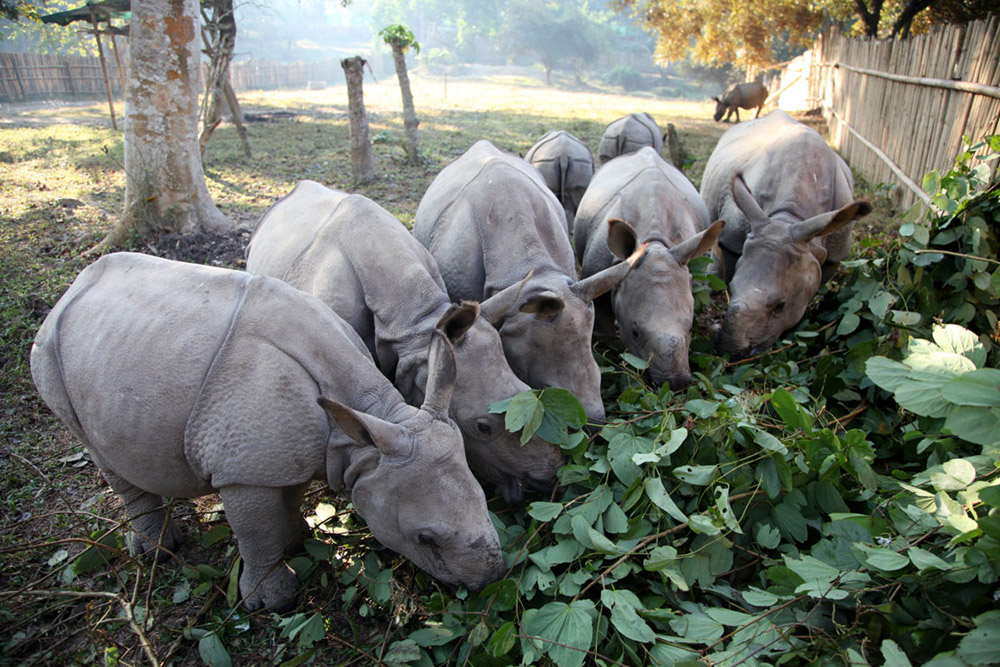 Rhinos being hand raised in the CWRC paddock munch on fodder offered in winter. Photo credit: Subhamoy Bhattacharjee/IFAW-WTI.