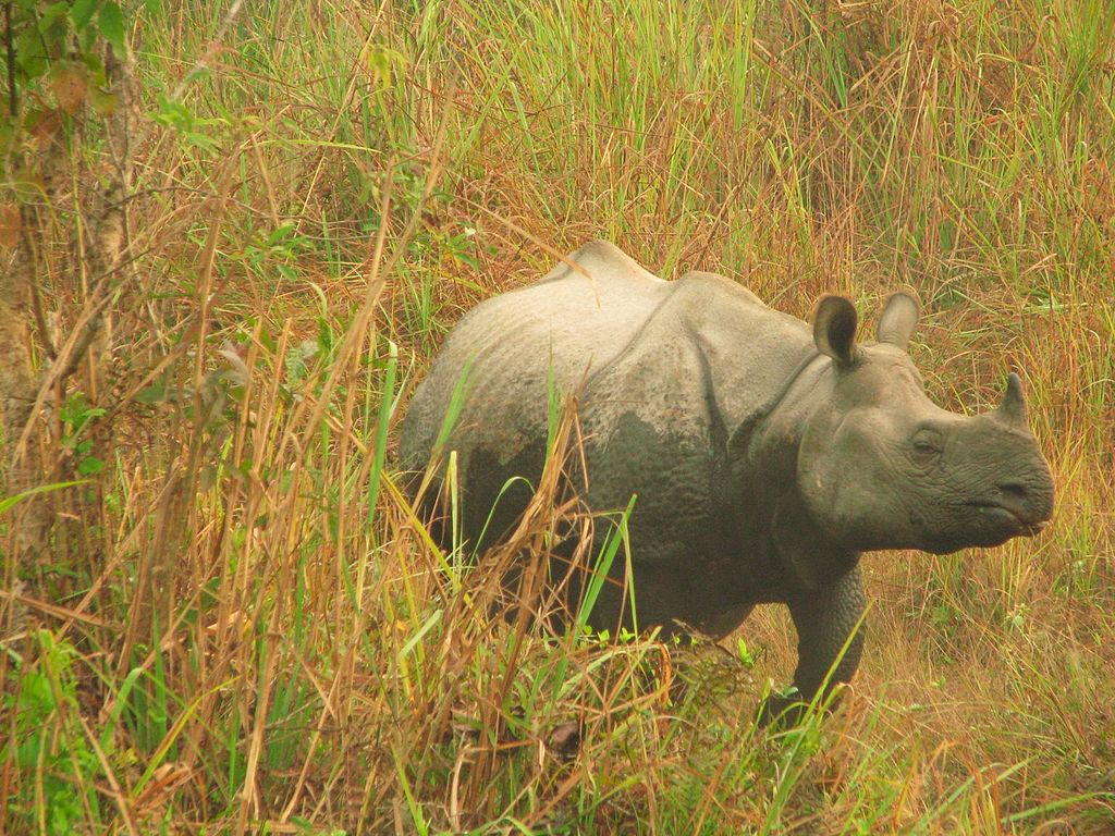 One of the 200-plus greater one-horned rhinos making its home in Jaldapara National Park. Photo Credit: Debabrata Bardhan/Wikimedia Commons [licensed under CC BY 4.0]