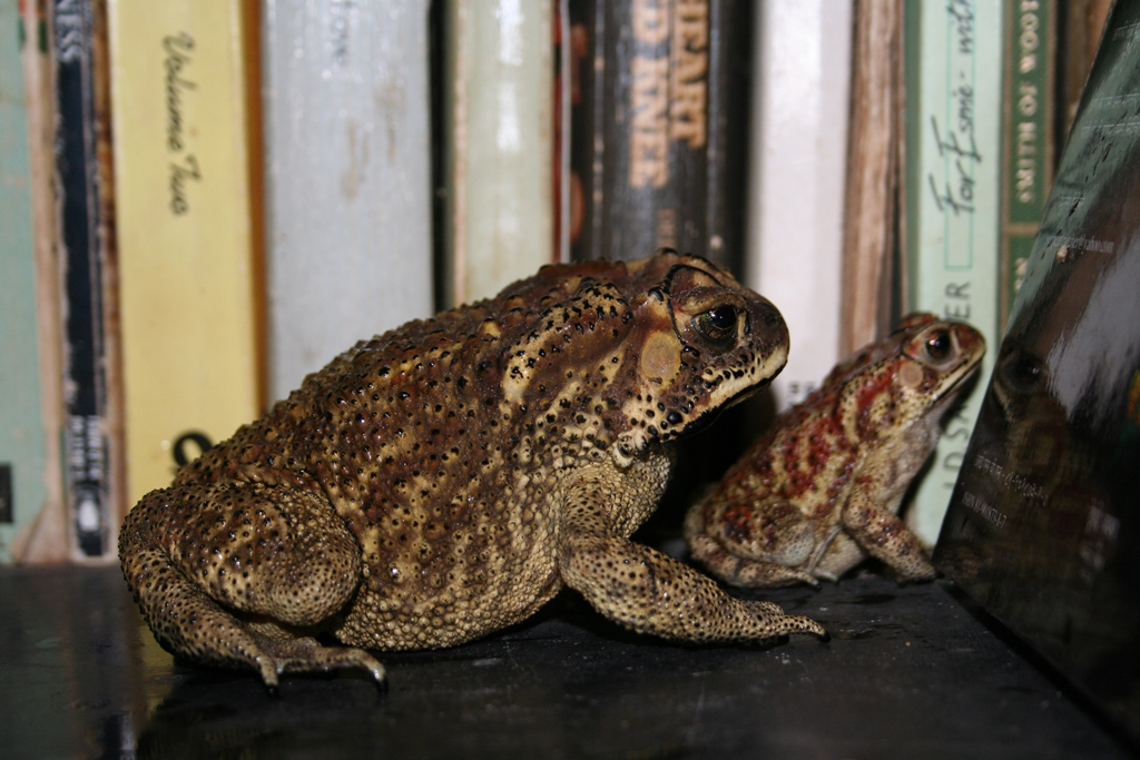 Common toads make themselves at home on our bookshelf.