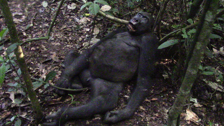Sousa, an adolescent gorilla shot dead by a poacher before the author's very eyes. Shelly Masi/MNHM, CC BY