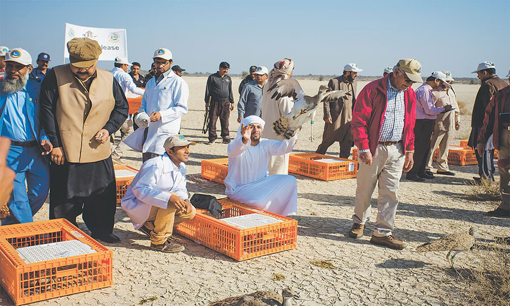 The release of 200 captive bred houbara bustards at the Lal Suhanra National Park in Bahawalpur. Photo credit: Mohammad Ali, White Star