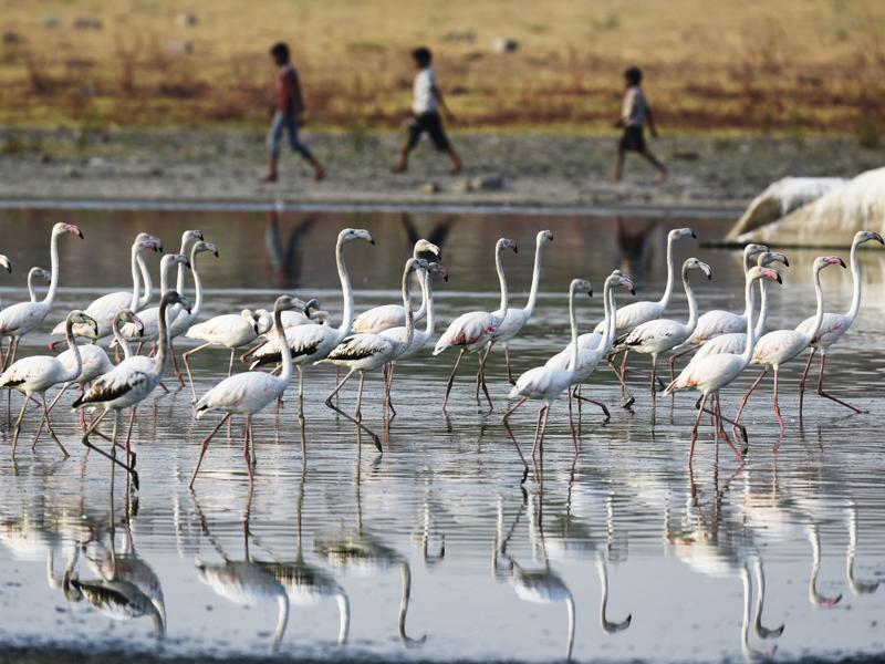 Flamingos at the Ameenpur Lake in Hyderabad. (Sanjeev Verma/HT Photo)