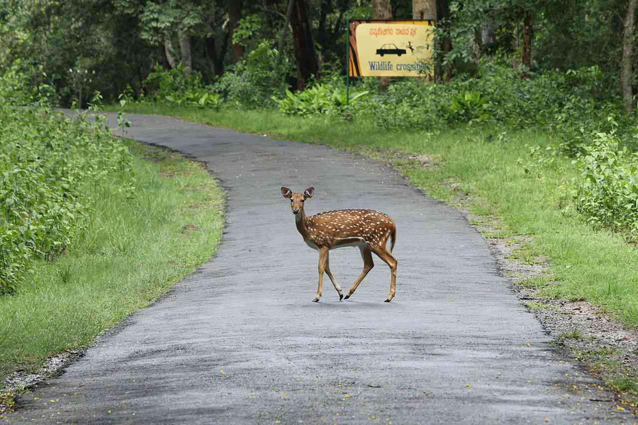 A chital deer crossing a road in the Nagarahole National Park. Photo Credit: Wikimedia Commons
