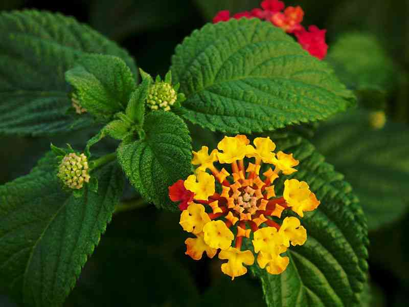 Flowers of Lantana camara. Photo Credit: Alvesgaspar/Wikimedia Commons [Licensed under CC BY 3.0]