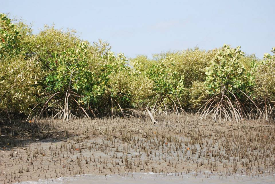 Mangroves in the Sindh delta. Source: sindhforests.gov.pk