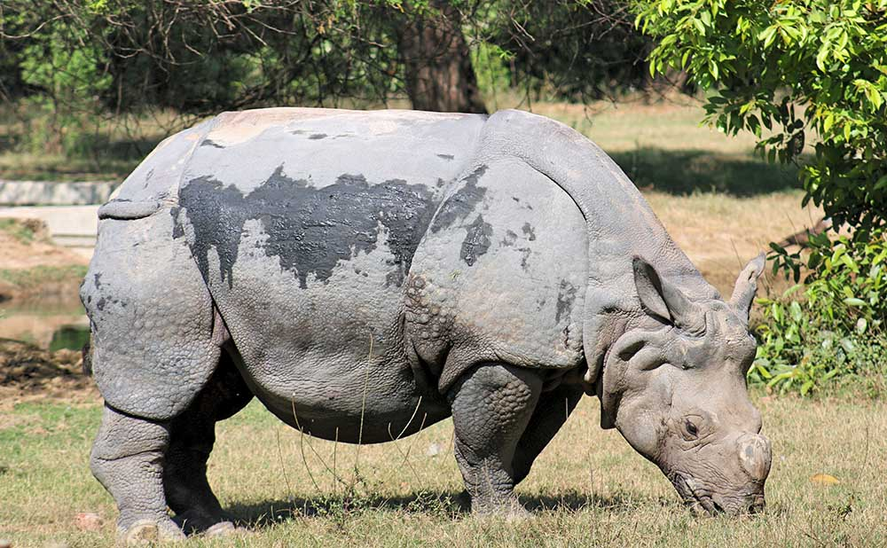A rhino in its enclosure at the Delhi Zoo. Photo credit: Anisha Russell.