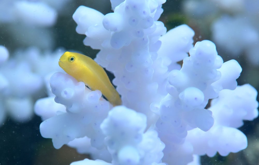 An Okinawa goby on a coral colony. Justin Marshall/coralwatch.org