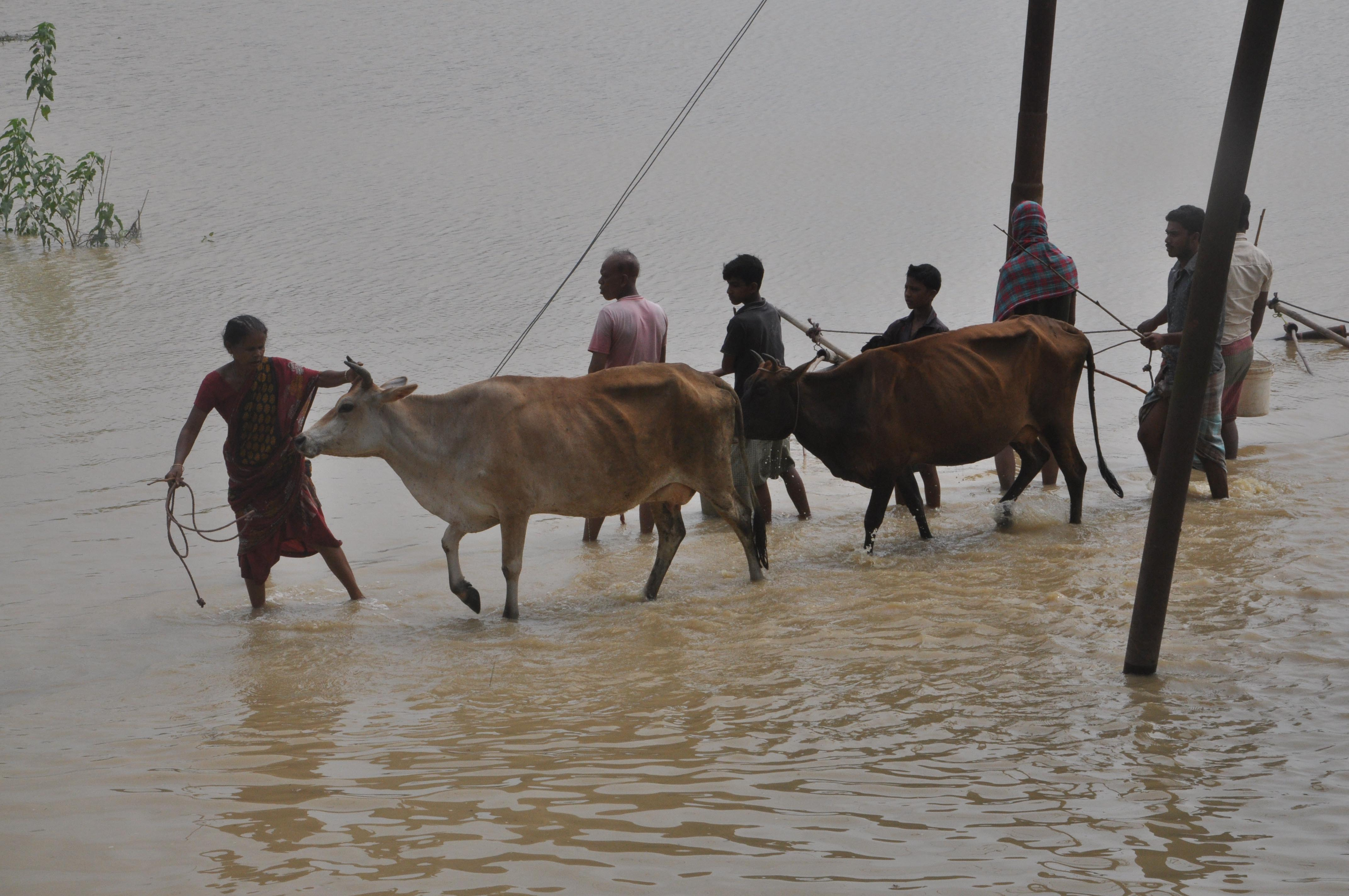 People carrying cows to safety in a flood-affected village