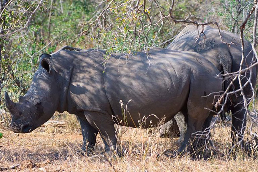 As many as three rhinos a day are poached for their valuable horns in and around Kruger despite massive anti-poaching efforts. Photo credit: Justin Catanoso for Mongabay