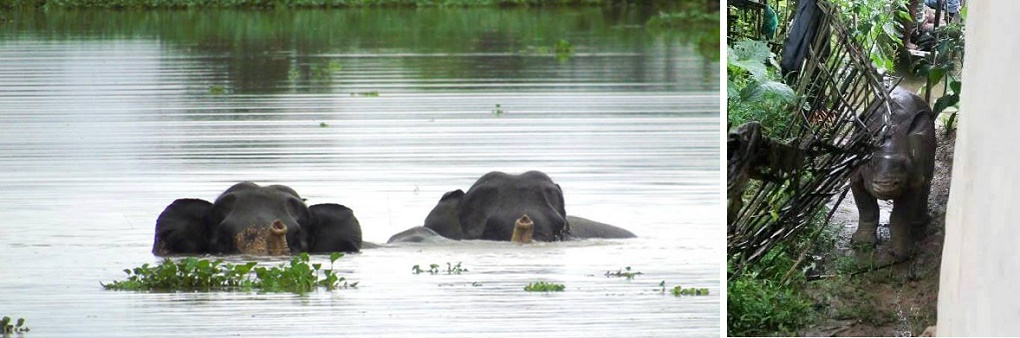 Wild elephants swim through the Kaziranga forest flooded by the Brahmaputra (left); a rhinoceros calf flooded out of the forest seeks refuge in a village home (right) [images by Hariswar Brahma, courtesy News Today]