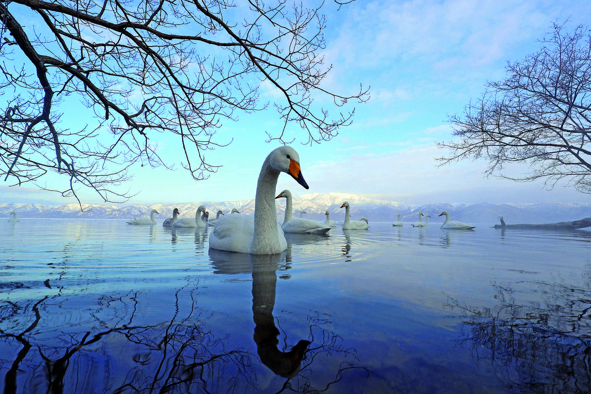 """'Swan Lake' by Lakshitha Karunarathna, shot at Lake Kussharo in Hokkaido, Japan, won the second prize. """"A drift of Whooper Swans floating in arrow head formation against a backdrop of snow-frosted mountains, framed by a latticework of tree branches reflected in the water,"""" said the press note. """"The low, wide angle frame has the swans dwarfing the mountains, infusing the scene with a sense of the surreal.""""  Considered one of the world's heaviest flying birds, the species can fly thousands of miles in the winter to warmer climates. They are found in large parts of Europe and East Asia and occasionally, in North America and the Indian subcontinent."""