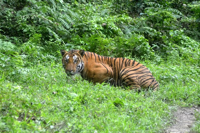 A Royal Bengal Tiger in Assam's Kaziranga National Park. Credit: IANS