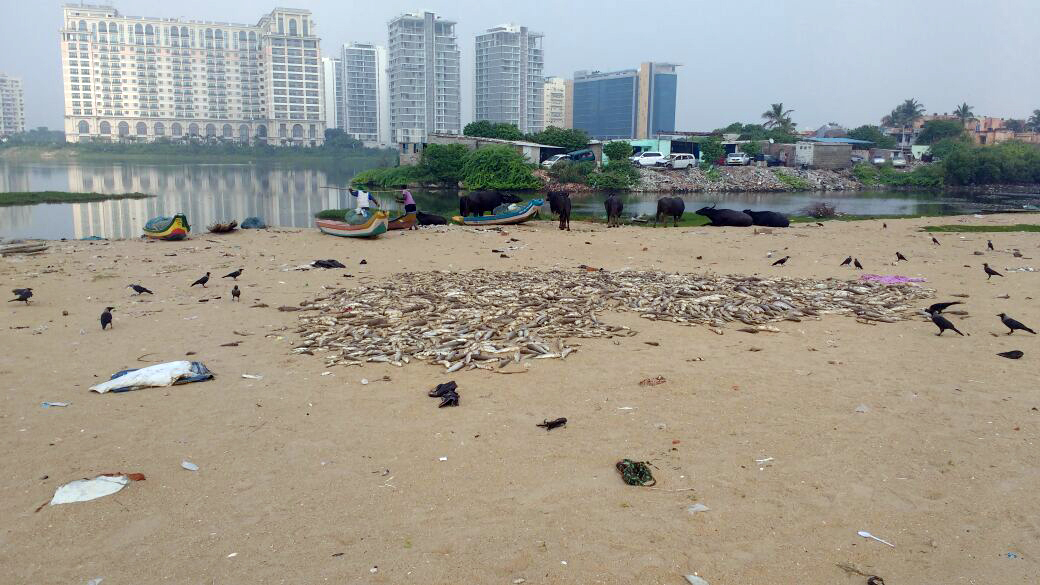 Crows gather around the dead fish on the shores of Urur Olcott Kuppam village in South Chennai. (Credit: K Saravanan)
