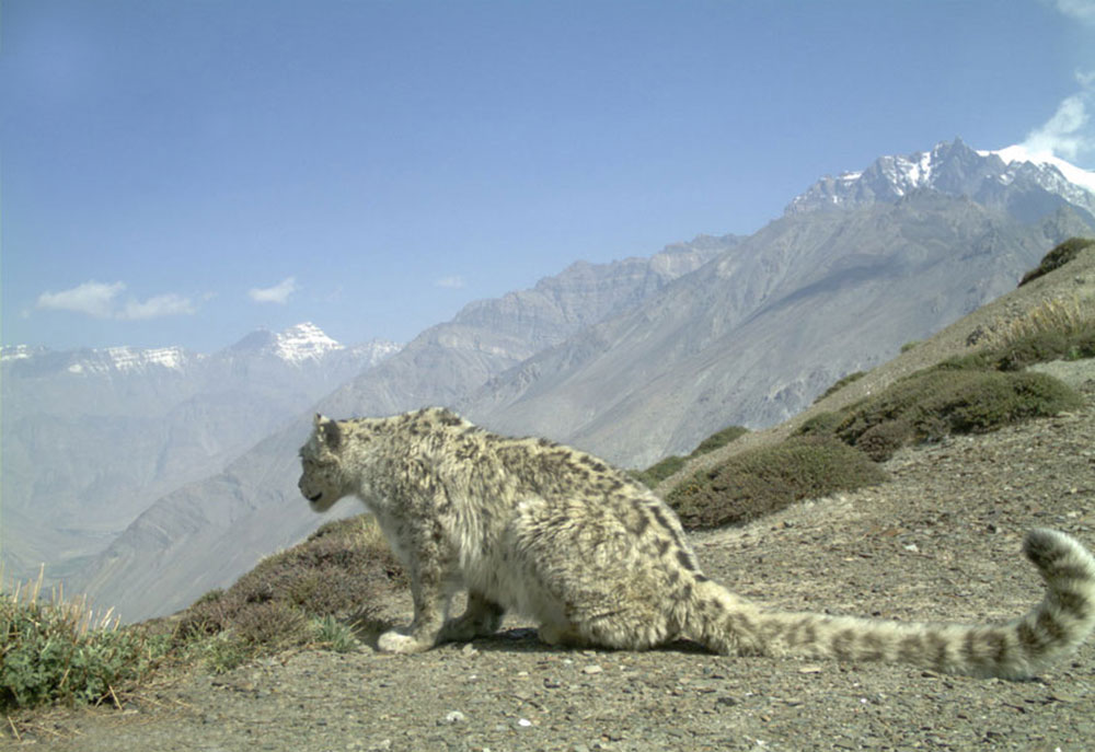 A snow leopard. Photo credit: NCF India/Snow Leopard Trust