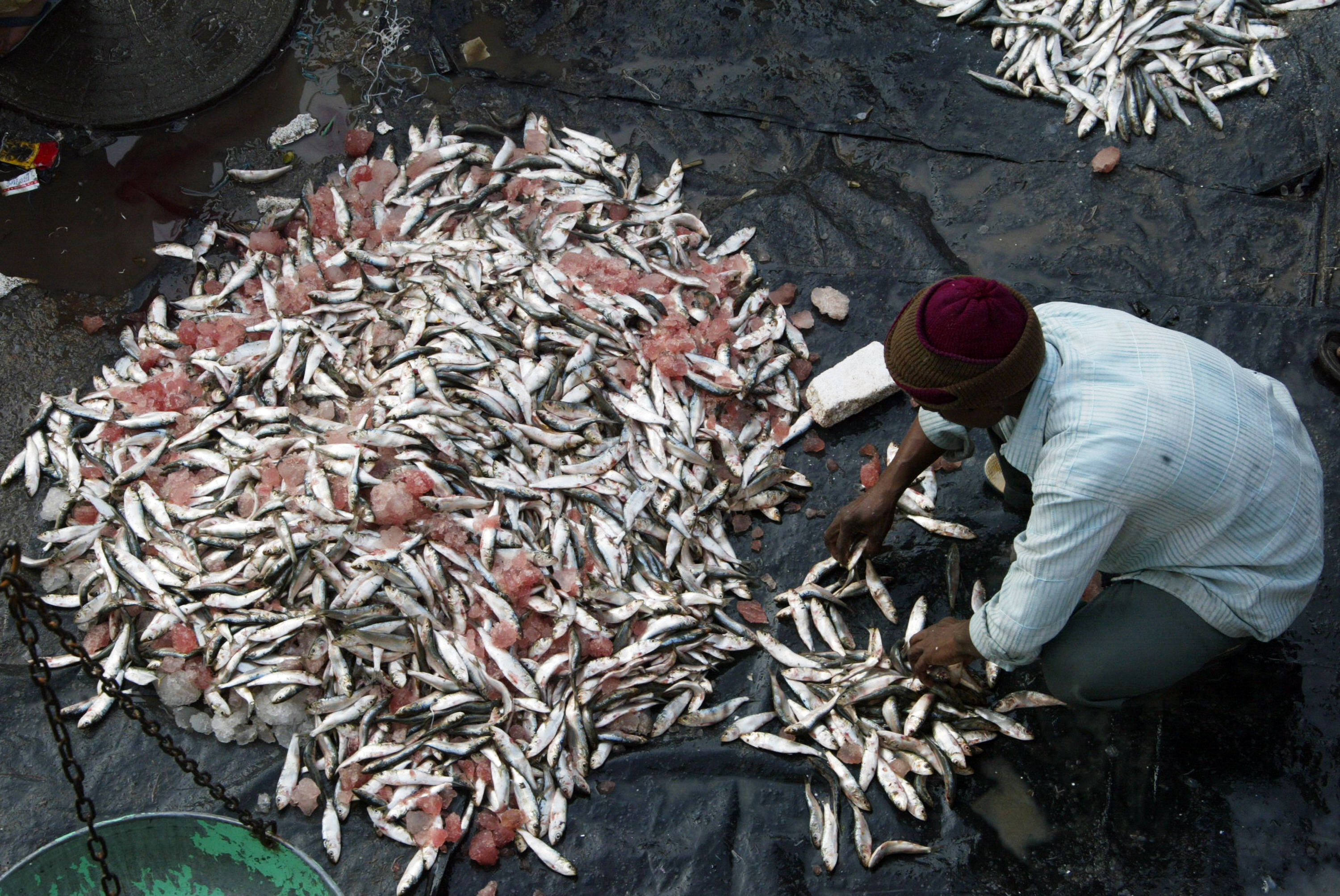 Domestic fish markets and fish landing centres lack even the basics – water, proper drainage, crushed ice, hygienic transportation boxes and other infrastructure – leading to large post-harvest losses. (Credit: Noah Seelam / AFP)
