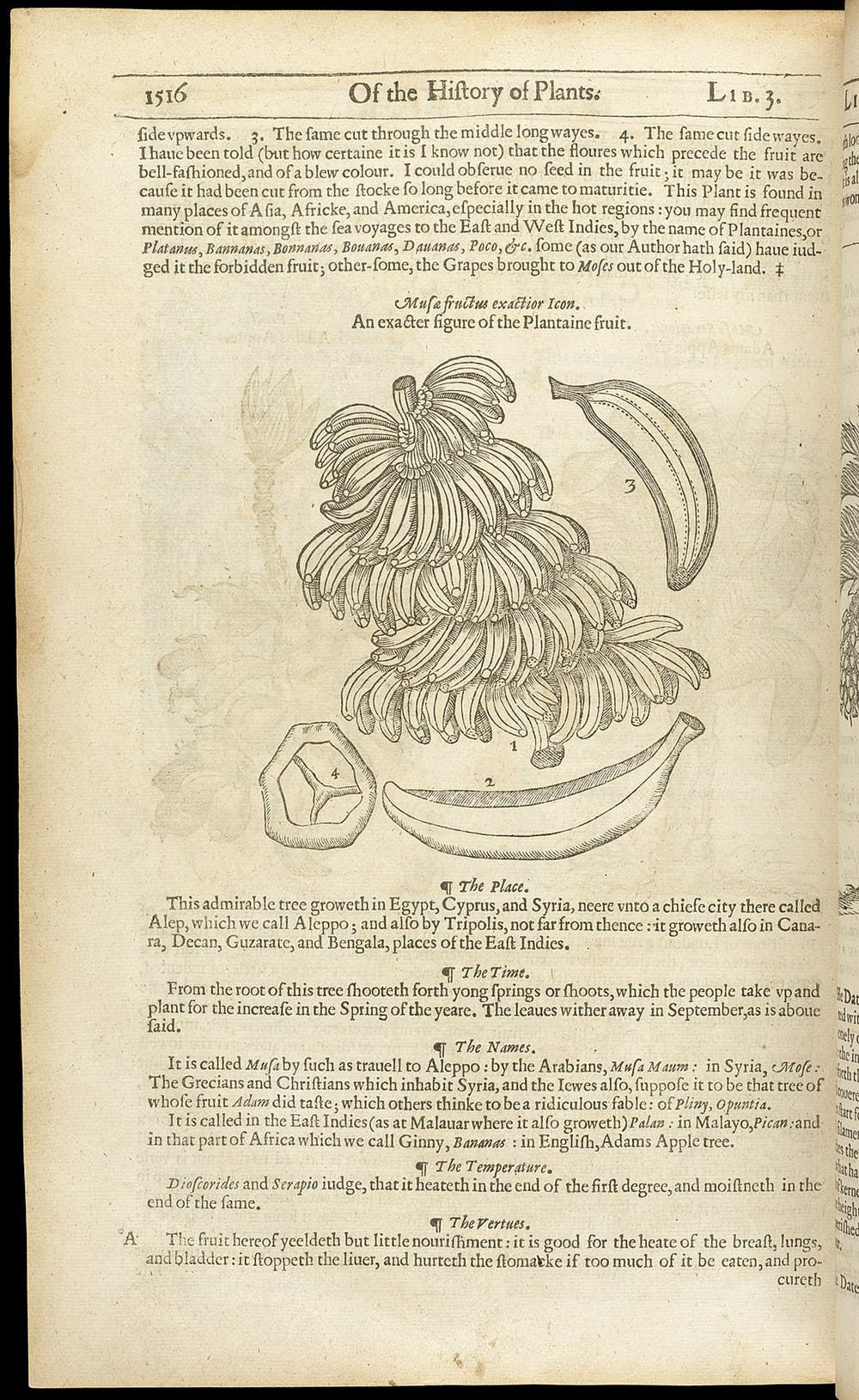 Page 1516 of the Johnson edition of The herball or generall historie of plantes. Photo credit: Wellcome Images/Wikimedia Commons [Licensed under CC BY 4.0]