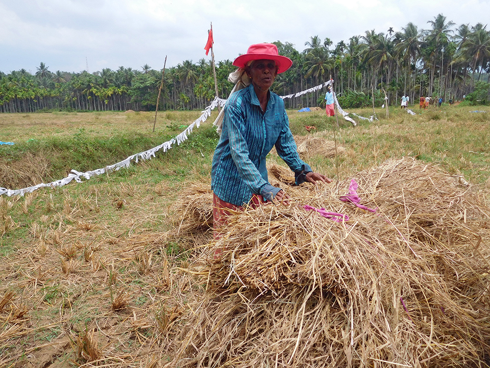 Nambradath Janaki, who had threatened to immolate herself at Wednesday's protest, works in her paddy field. (Credit: TA Ameerudheen)