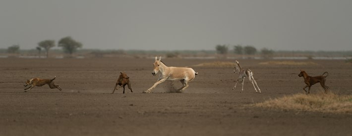 Dogs chasing the Indian wild ass in the Little Ran of Kutch, Gujarat. Photo credit: Kalyan Varma.