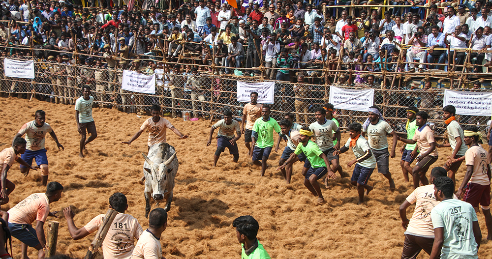 A bull is surrounded by waiting players. For the players, it is ideal when a bull doesn't ride past them immediately but instead stays in the arena for a while. This is the time when they can catch it from behind. After a game is decided, the owner of the bull must take it away from the ground.