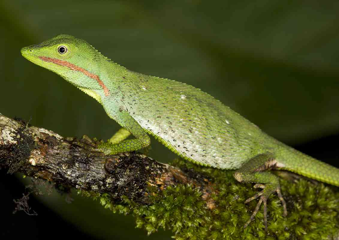 A lizard of the genus Microauris (Image credit: Bombay Natural History Society)