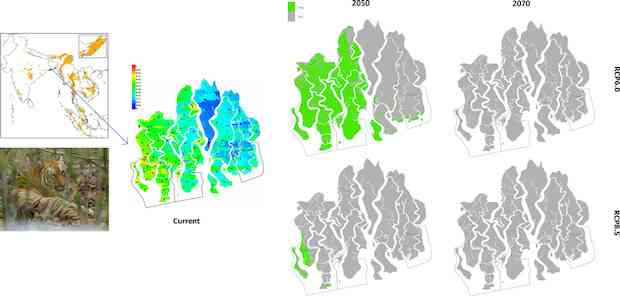 Likely distribution of Bengal tiger in the Bangladesh Sundarbans – (top left) distribution in 2050 with IPCC's RCP6.0 scenario; (bottom left) distribution in 2050 with RCP8.5 scenario; (top right) distribution in 2070 with RCP6.0 scenario; and (bottom right) distribution in 2070 with RCP8.5 scenario. The black borders show the current location of three wildlife sanctuaries. Source: Combined effects of climate change and sea level rise project dramatic habitat loss of the globally endangered Bengal tiger in the Bangladesh Sundarbans, Science of Total Environment