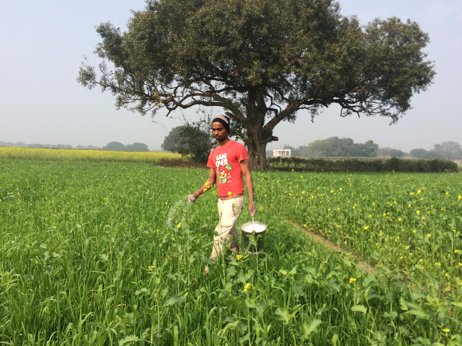 A young man sprinkles urea over wheat fields. Sowing has been delayed in the village.
